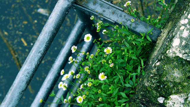 Daisies and the Ladder